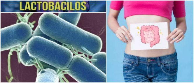 que son los lactobacilos