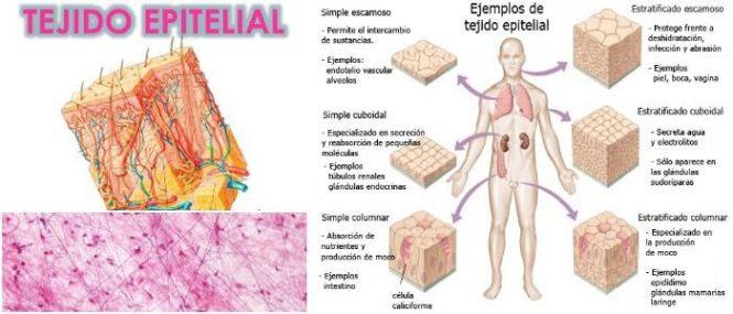 Tejido Epitelial: ¿Qué Es? Funciones, Características, Tipos y ...