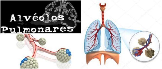 cual es la anatomía y fisiología de los alvéolos