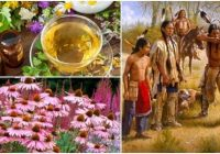 cuales son los beneficios y contraindicaciones de la echinacea purpurea