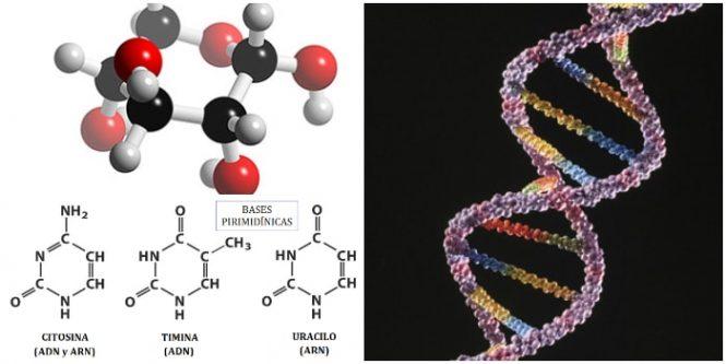 Significado y función de los nucleotidos en nuestro cuerpo
