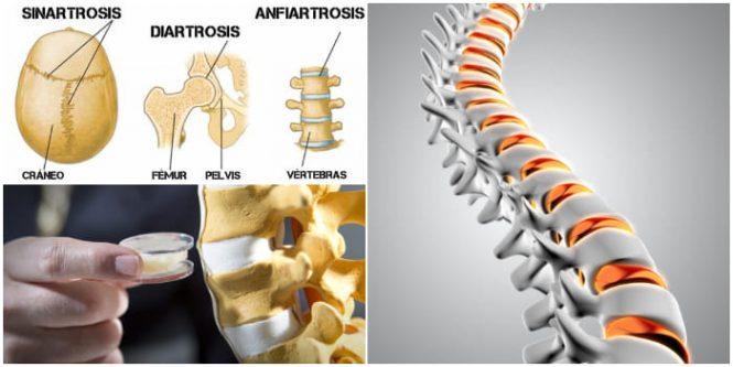 Anfiartrosis: Anatomia, Definición, Función, Primarias y Secundarias ...