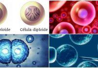 definicion genética y significado de haploide y diploide