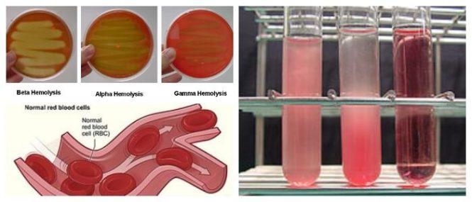 hemolisis biologia