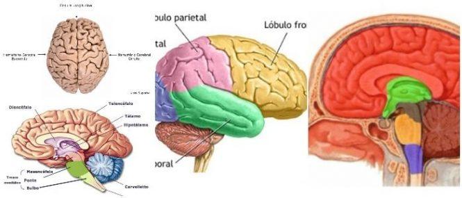 Telencéfalo: Partes, Funciones y Patologías – Arriba Salud