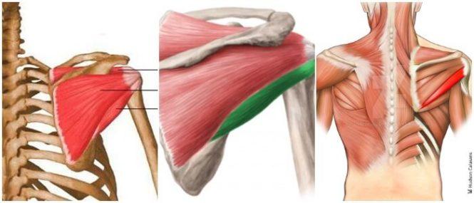 Músculo Redondo Menor: Disposición Anatómica, Función, Mecanismos De ...