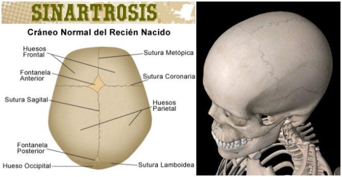 Sinartrosis: Características, Sutura, Fontanelas, Membrana Interósea ...