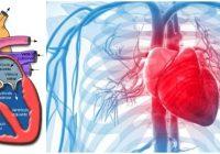 estructura del corazon humano