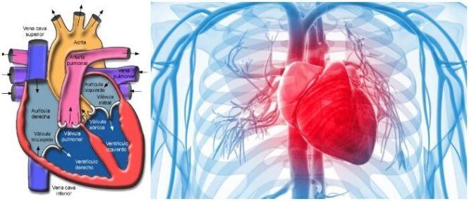 Anatomía Del Corazón: ¿Cómo Funciona? Anatomía Básica, Estructura ...