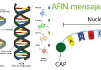 arn mensajero a proteina
