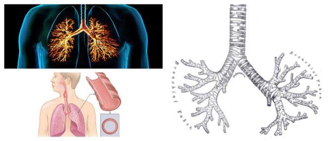 Bronquios: ¿Qué Son? Ubicación, Estructura, Anatomía, Función ...