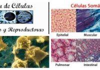 células somáticas adultas