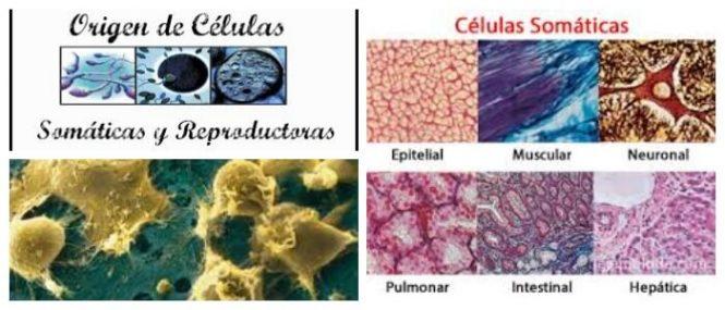 Células Somáticas: Definición, Ejemplos, Tipos y Diferencias ...