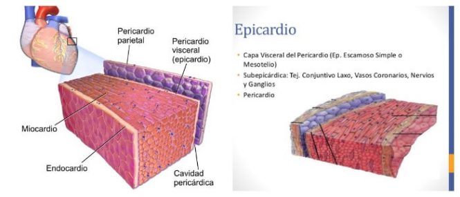 histología del epicardio