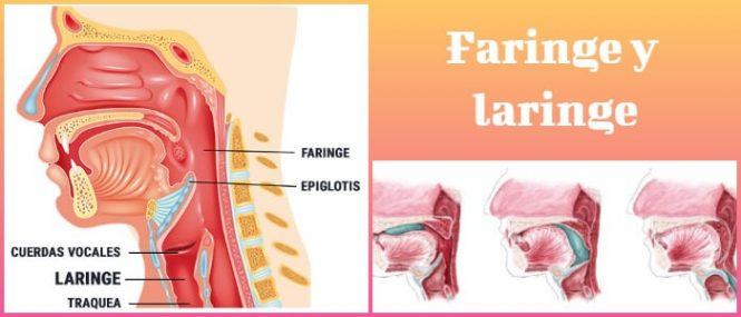 Faringe y Laringe: Partes De La Faringe, Condiciones Asociadas ...