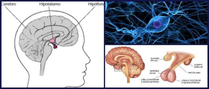 Hipófisis: Definición, Anatomía, Trastornos Asociados y Tumores En ...