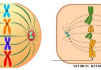 metafase anafase y telofase