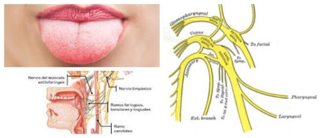 anatomía del nervio glosofaringeo