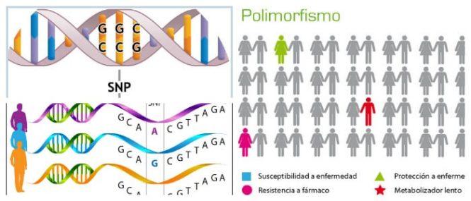 Polimorfismo: Definición, Genética, Diferencias Con La