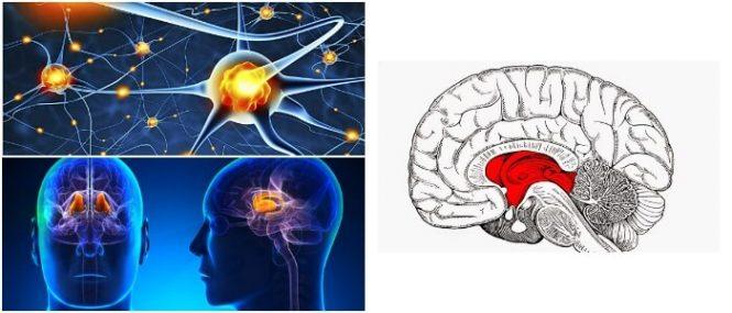 Tálamo: Definición, Anatomía, Funciones, Síndromes Asociados y ...