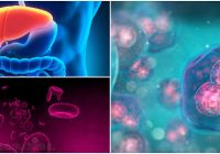 características de las células de kupffer