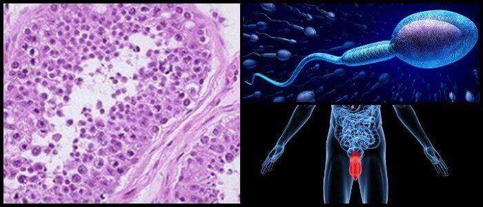 las células de sertoli nutren a los espermatozoides
