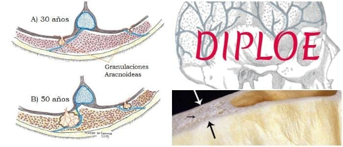 Diploe: Definición, Huesos Planos, Vascularización y Venas Diploicas ...