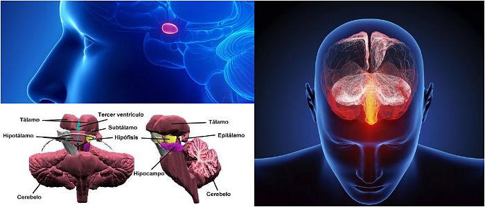 Epitalamo: ¿Qué Es? Funciones, Anatomía y Estructura – Arriba Salud
