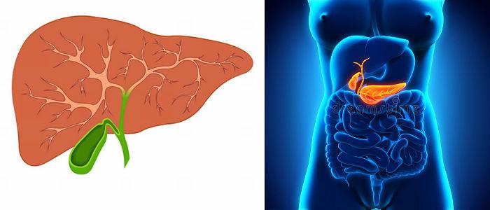 función de la bilis en el organismo