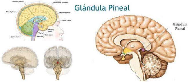 Glándula Pineal: Ubicación, Funciones, Ritmos Circadianos ...