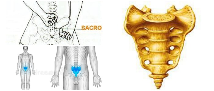 Hueso Sacro: ¿Qué Es? Estructura Función y Anatomia – Arriba Salud
