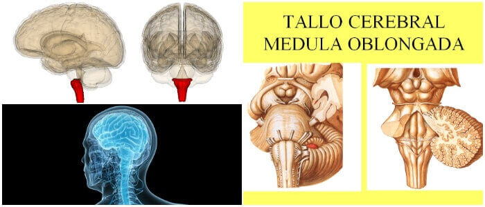 Médula Oblongada: ¿Qué Es? Función, Superficie Anterior y Anatomía ...