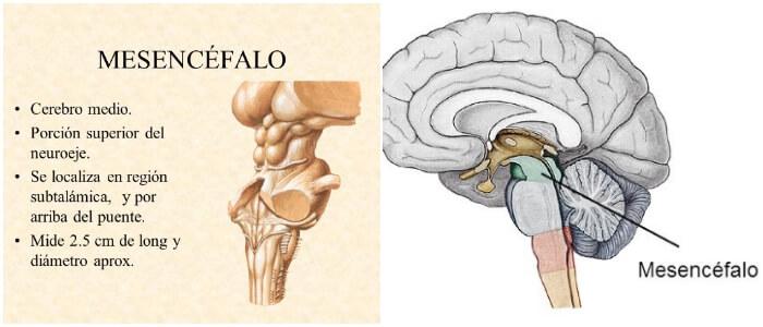 Mesencefalo: ¿Qué Es? Anatomía Externa e Interna y Vasculatura ...