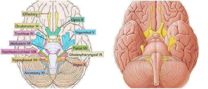función de los nervios craneales