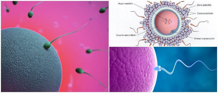 ovocito y ovulo