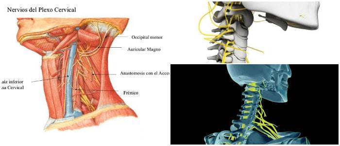 Plexo Cervical: Definición, Componentes, Nervios Espinales, Función ...