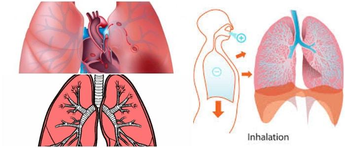 Pulmones: Definición, Función, Anatomía, Estructura Del Sistema ...