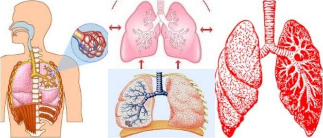 Respiración Pulmonar: Anatomía, Mecánica De La Respiración, Defensas ...