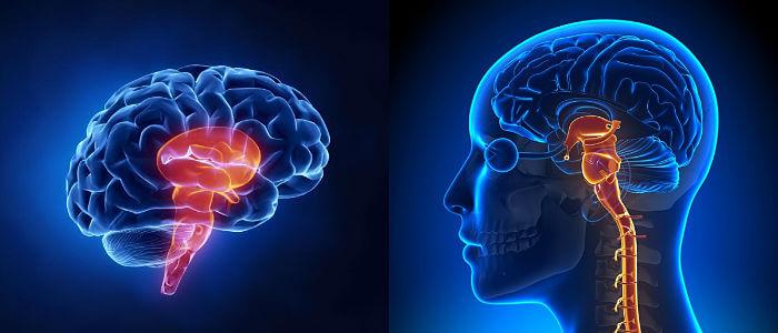 Tronco Encefálico: Definición, Función, Ubicación, Estructura y ...