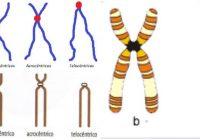 clasificación de los cromosomas de acuerdo ala posición del centromero