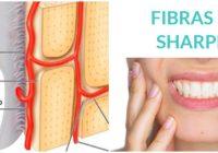 artículo sobre las fibras de sharpey