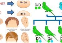 diferencias entre un gen dominante y un gen recesivo