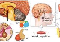la glándula hipofisis y el órgano blanco