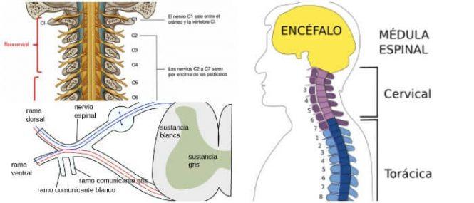 Nervios Raquídeos: ¿Qué Son? Estructura y Sus Diferentes Funciones ...
