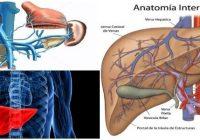 vena porta anatomia