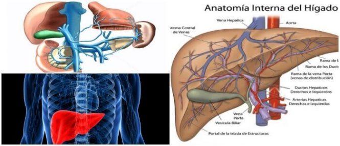 Vena Porta: Definición, Función, Enfermedades Asociadas, Anatomía ...