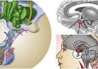 cual es la función de la hipófisis o pituitaria