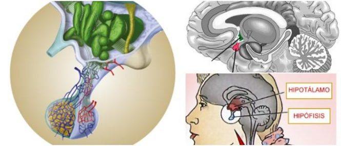 Función De La Hipófisis: Definición, Ubicación, Hormonas Pituitarias ...