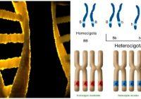 cual es la función del heterocigoto