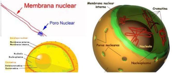 Membrana Nuclear Qué Es Estructura Función Y